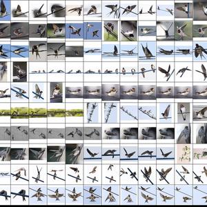 鳥のポーズ・素材集 ツバメ編