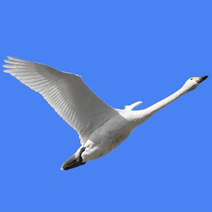 鳥のポーズ・素材集 ハクチョウ編