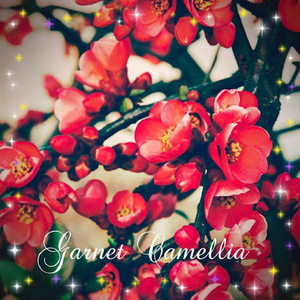 Garnet Camellia