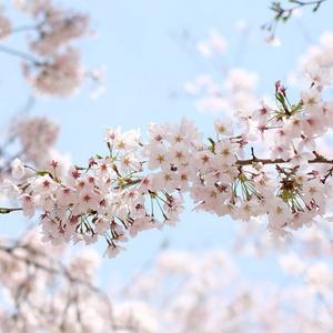 春に奏 《時間限定 DL版》